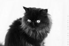 Il mio gatto Vlady (davidesalonia) Tags: gatto gatti vladimir gattonero ef50mm18 gattobianco canoneos100d davidesalonia