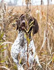 Tall grass #2 (dudejager) Tags: cute pointer cutie germanshorthair cuteness gsp germanshorthaired