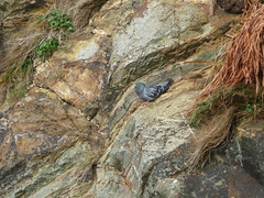 pigeon (robbie.guthrie@btinternet.com) Tags: cliff bird nature pigeon perch perched majestic birdwatching