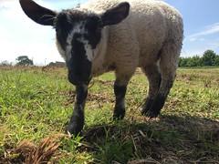 Kofta the Lamb