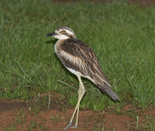 Bush Stone Curlew (aka Bush Thick Knee) (Burhinus grallarius) (55 centimetres).01