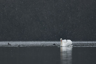 Swan in the Snow II