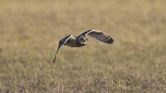 Jorduggla Short-eared Owl Asio flammeus (Bjorn Johansson) Tags: owls shortearedowl jorduggla