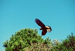 Spread Your Wings and Fly (cheshycat) Tags: blackcockatoo cockatoo flyingbird tropicalbird australia australianbird cocky