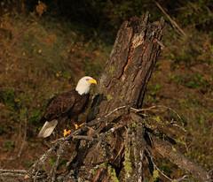 Bald Eagle Preparing for a Stump Speech (ken.helal) Tags: 20130807greateaglesheron