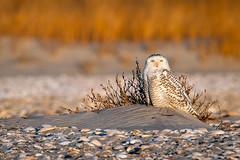 Snowy Owl III (Barbara Statas (Ripp)) Tags: beach bird buboscandiacus nj newjersey owl snowyowl stoneharbor birdofprey irruption white wildlife yelloweyes snowyowl4dsc4929barbarastatasweb capemaycounty