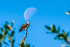 Sunny Day Osprey (JK's Photographs) Tags: zoom doubler extender telephoto 400mm usm sunday sunny f28lisii f28 ef70200mm markii 7d 7dii 2xiii canon lisii 70200mm canoneos osprey sea eagle hawk raptor fish river waning moon wgv bird bokeh talons tree leaves blue sky posed perched waiting branch limb feathers clear day sunshine explore flickr planet lunar focus focused foreground background subject looking handheld