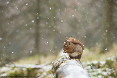 Red Squirrel (Alastair Marsh Photography) Tags: redsquirrel redsquirrels squirrel squirrels mammal mammals britishwildlife britishanimals britishanimal animal animals animalsintheirlandscape wildlife britishmammals britishmammal smallmammal smallanimal smallmammals smallanimals yorkshire yorkshirewildlife yorkshiredales nationalpark nature nationaltrust snow snowing snowfall