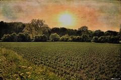 Le champ bordé d'arbres (florence.V) Tags: france hautsdefrance nord 59 salomé paysage campagne champs arbres nature photoshop texture musicphoto