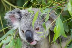 Koala (Rob McC) Tags: lonepinekoalasanctuarybrisbaneaustralia koala phascolarctoscinereus herbivore marsupial faune animal eucalyptus portrait cute