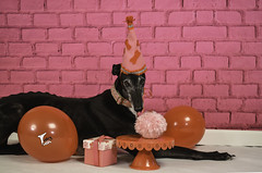 Birthday Girl (houndstooth4) Tags: dog greyhound flattery odc 52weeksfordogs 652 birthday
