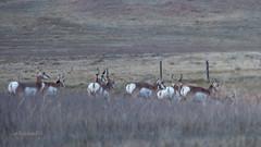 Pronghorn (Antilocapra americana) at dusk, Pawnee National Grassland near Greeley CO (Ian_125) Tags: colorado pronghorn pawneenationalgrassland antilocapraamericana antilocapra antilocapridae mammals mammalia artiodactyla greeley grassland weldcounty antilocaprini antilocaprinae eventoedungulate