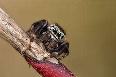 Evarcha sp. (probablement arcuata), mâle (Montgaillard) (G. Pottier) Tags: jumpingspider spider araignée araignéesauteuse salticidae saltique