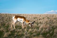 Antelope (joshhansenmillenium) Tags: nikon photography d5500 hiking adventure nature utah salt lake city antelope island sunset moon animals coyotes buffalo bison mountains tamron 18200mm frary peak great