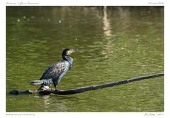 Grand cormoran | Great Cormorant [Txingudi | Espagne | Spain ] (BerColly) Tags: espagne spain parc ornitho oiseau bird grandcormoran greatcormorant plaiaundi txingudi irun bercolly google flickr