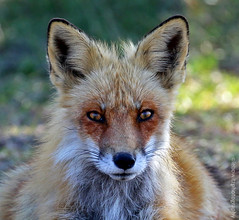 Red Fox on Long Island (JetImagesOnline) Tags: fox red vulpine vulpes wildlife animal wild robert moses state park