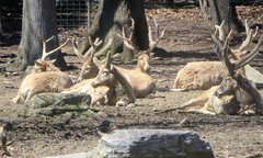 Pere David Deer (edenpictures) Tags: bronxzoo nyc newyorkcity mammal antlers herd chinese