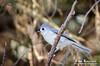 TT Mouse (KIRK333) Tags: adobe lightroom on1 photoshop topaz back yard birding tufted titmouse tuftedtitmouse bird birds topazdenoise perfecteffects