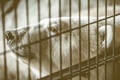 TST_8792 (ym80045) Tags: 旭川市旭山動物園 旭川 旭山動物園 asahikawaasahiyamazoologicalpark asahikawa ホッキョクグマ ursusmaritimus 北極熊 polarbear