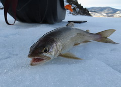 Williams Fork Lake Trout (fethers1) Tags: icefishing fishing williamsforkreservoir laketrout