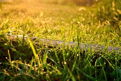 Rugiada (dew) (eugenio.mosca) Tags: nikon d5300 italy italia grass erba snail lumaca dew rugiada sunrise alba san giorgio green verde