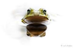Easter Frog (Rob Blanken) Tags: easter frog