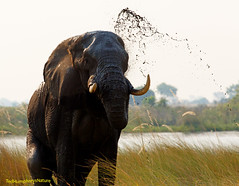 Elephant suddenly out of the water (Ted Humphreys Nature) Tags: elephant botswana animals tedhumphreysnature