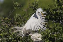 Great Egret (Stephen J Pollard (Loud Music Lover of Nature)) Tags: greategret garzablanca ardeaalbaegretta ardeaalba aveplayera shorebird bird ave