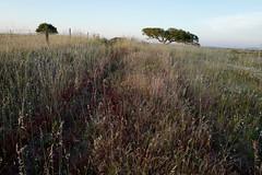 Santa Bárbara de Padrões L1000176 (x-lucena) Tags: santabárbaradepadrões azinheira quercusilex