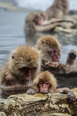 Nagano - Jigokudani - 02 (coopertje) Tags: japan nagano snowmonkey monkey jigokudanimonkeypark jigokudanijaenkoen sneeuw snow sneeuwmakaak macaque japanesemacaque cold onsen hottub hotspring water