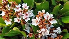 White Blossoms (EmperorNorton47) Tags: portolahills california photo digital spring flowers white rhaphiolepisumbellata dwarfyeddohawthon