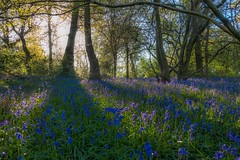 If you go down to the woods today (www.yabberdab.com) Tags: landscapes woods flowers blue springtime countryside bluebells backlit