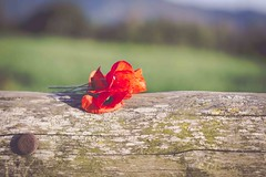Amapolas 🌺 (☼ Mrs ☼) Tags: flores amapolas exterior outdoor primavera naturaleza rojo red