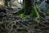 Roots (robertrutxu) Tags: adarra raices roots sustraiak zuhaitza basoa