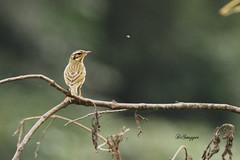 Need ID Pippit Female 1 (Ganugapenta NaveenKumar Reddy) Tags: northeast northeastindia mishmihills canon7d disnapper guyonblackybx gnaveenkumarreddy ganugapentanaveenkumarreddy gnr ganugapenta