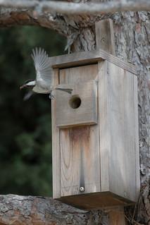 Chestnut-backed Chickadee nesting