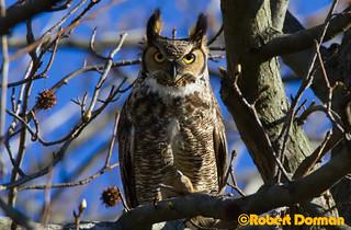 Owl Stare Down
