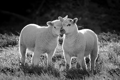 Best Friends (Emma Pollock - Photos) Tags: lamb herefordshire hereford nature black white sheep field spring cute gorgeous awwww friends