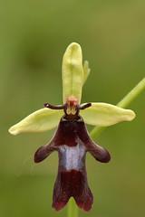 _DSC5442 Vliegenorchis / Fly orchid (Gert_Paassen) Tags: fliegenragwurz orchid orchidee vliegenorchis flyorchid flower bloem zeldzaam beschermd nederland limburg duitsland deutschland germany netherlands eifel blankenheim macro nikkor 105mm nikon d6750 flowering bloeiend ophrys