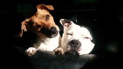 Best friends..... (wazzle1) Tags: dog friendship together jackrussellterrier staffordshirebullterrier pets mammels portrait