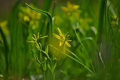 Wiesengelbstern (Wolfgang's digital photography) Tags: blume frühblüher wiesengelbstern liliengewächs natur gelb pflanze wiesenblume nikond5300