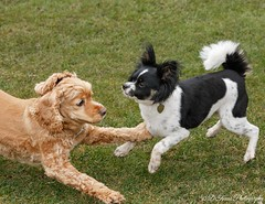 Tag Your It! (Denise Trocio (D Trocio Photography)) Tags: dogs playtime outdoors jasper luckycharm americancockerspaniel papillon animals domesticatedanimals friendship boys
