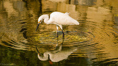 Snowy Egret (kensparksphoto) Tags: egret snowy bird wading water mexico