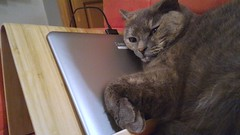 Grisouille le chat geek (dbrothier) Tags: cat chatte chat geek