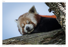 Le Pal (BerColly) Tags: france auvergne allier parc animal panda sieste nap lepal bercolly google flickr