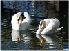 A deux - Together (Jogabi - Michèle) Tags: cygne swan platinumheartaward coth5 saariysqualitypictures ngc naturethroughthelens sunrays5 magicunicornverybest