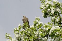 Turmfalke (reipa59) Tags: greifvogel ransweiler rheinlandpfalz turmfalke falke