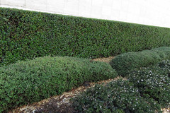 Hedges outside St Mary's Cathedral San Francisco 170325-155642 C4 (Wambeke & Wambeke Photography, Art, & Textiles) Tags: hedges differenttypesofhedges green churchgarden charliewambekephotography charliesphotoart charliewambekephoto charliewambekephotograph canonsx50photo canonsx50photograph canonpowershotsx50photograph wambekewambekephotographyarttextiles wambekewambeke wambekeandwambekephoto wambekeandwambekephotography wambekewambekephotographyquiltingspecialists