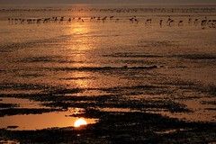 Dawn at Sewri - 10 (Rajesh_India) Tags: dawn flamingo maharashtra mumbai sewri silhouette