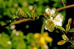Zierquitte, Chaenomeles (günter mengedoth) Tags: zierquitte chaenomeles frühlinh garten zierstrauch nature flower bright samyang 135mm f20 ed umc